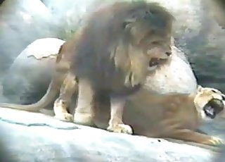 Stunning lioness fucked nicely by amazing lion